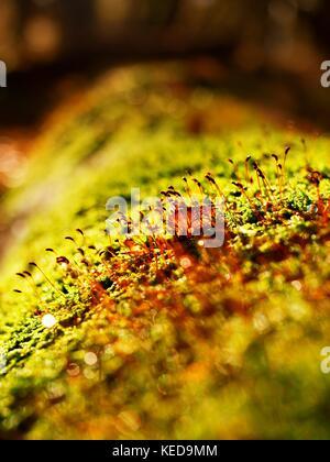 Brown splendenti aghi in moss sull'albero caduto. lascia la foresta in caduta stagione in background. Foto Stock