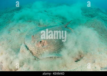 Spinosa ray, urogymnus asperrimus, Marsa Alam, Mar Rosso, Egitto Foto Stock