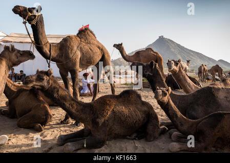 Pushkar, India. 24 ottobre, 2017. pushkar camel fair. un allevatore di cammelli in attesa per i clienti presso la fiera con la sua mandria di cammelli. Credito: ravikanth kurma/alamy live news