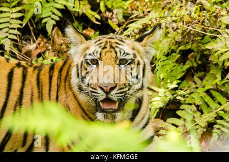 Un cucciolo di tigre nascosto nei cespugli e guardando i visitatori con curiosità Foto Stock
