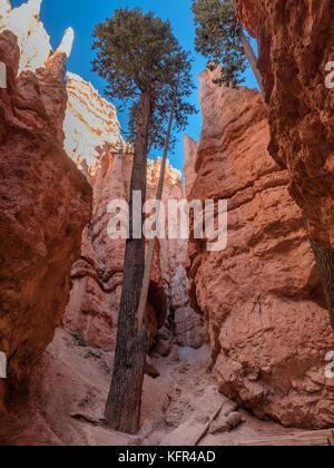 Bryce Canyon giù per Wall Street in Utah, USA Foto Stock
