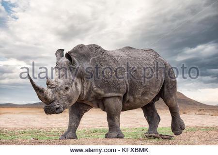 Un rinoceronte bianco, madikwe game reserve Foto Stock