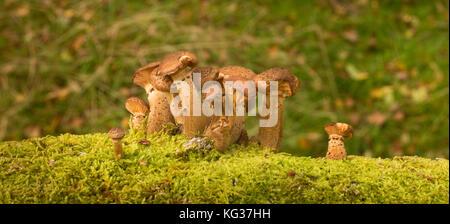 Armillaria ostoyae / Miele scuro funghi che crescono sul log di caduto argento betulla, Bole Hill Quarry, Derbyshire, Foto Stock