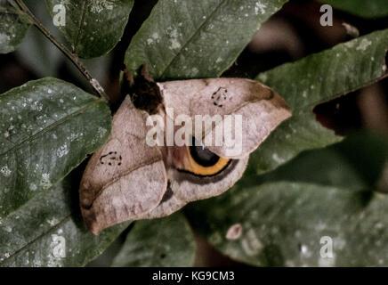 Una falena nella giungla Foto Stock