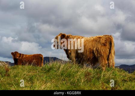 Highland scozzesi il pascolo di bestiame in un campo e pascolo su The Isle of Mull, Scozia Foto Stock