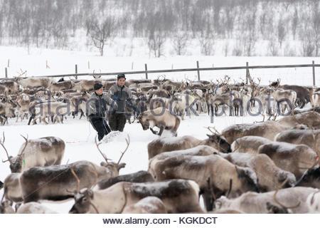 Sami reindeer herders contrassegnare i vitelli in inverno. Foto Stock