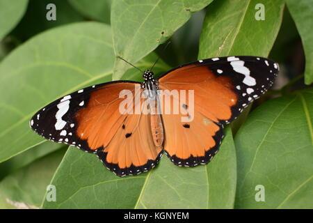 Un danaus chrysippus butterfly su foglie verdi. Foto Stock