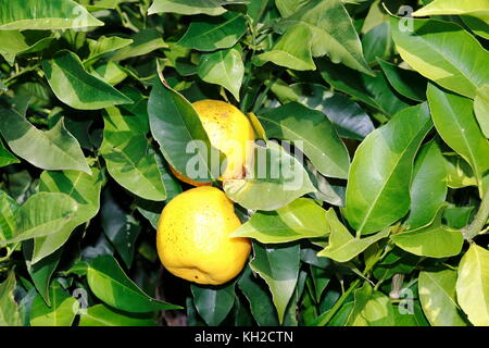 Limone, Limone, limette, am Baum