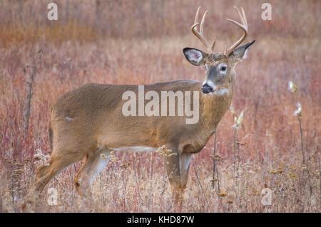 Vista di profilo di unico grande otto punto buck sorge e si guarda alle spalle in autunno i campi di grandi prati Foto Stock