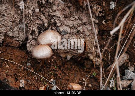 Close-up di due funghi marrone che cresce dal terreno fertile all'aperto durante l'autunno Foto Stock