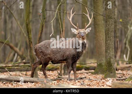 Culbianco buck Stag Cervo nella foresta Foto Stock