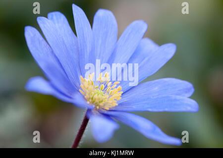 Close-up ritratto di anemone blanda sfumature di blu Foto Stock