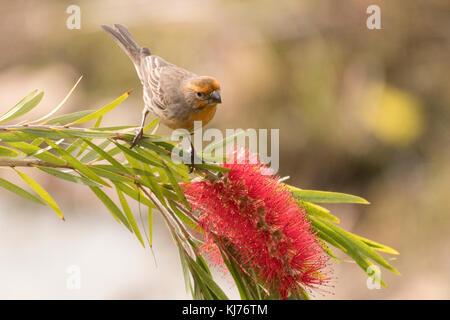 House finch appollaiato sulla bottiglia di fioritura e spazzola ramo di albero. marina del rey, california, Stati Foto Stock
