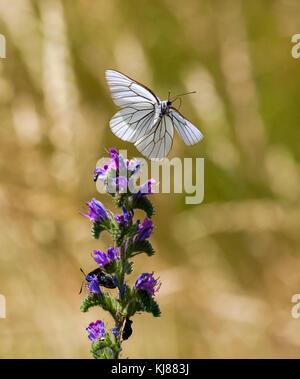 * farfalla britannica il bianco nero venato Aporia cratagegi in volo nella campagna spagnola su una testa di fiore Foto Stock