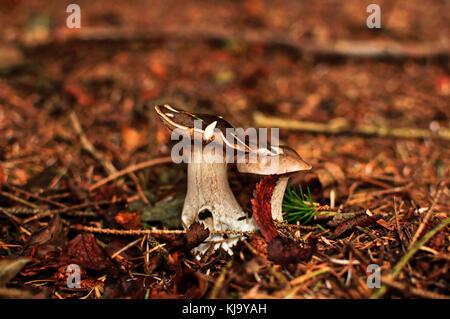 Fungo fungo Scozia Scotland Foto Stock
