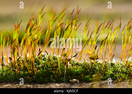 Giovani sporophytes della parete vite-moss, tortula muralis, crescente dal gametofito cuscino su una parete da giardino Foto Stock