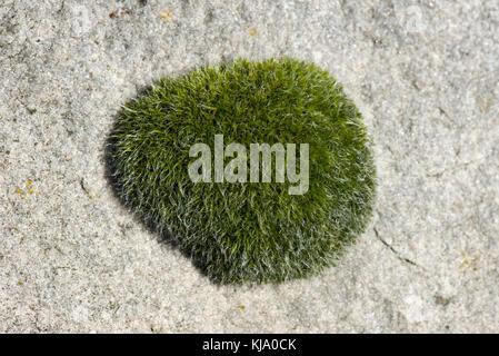 Gametofito cusion della parete vite-moss, tortula muralis, che cresce su una grande pietra sarson, berkshire, marzo Foto Stock