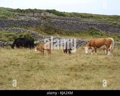 Il pascolo di bestiame in pascolo vicino a muri di pietra in Irlanda rurale Foto Stock