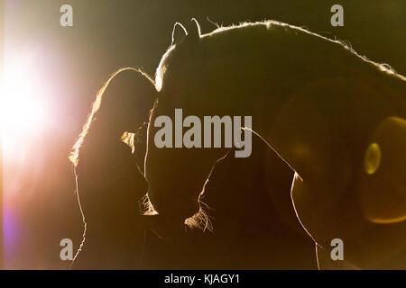 Lipizzan cavallo. Ritratto di adulto stallone (Siglavy Capriola Primas) con la giovane donna nelle tenebre con la luce in background. Austria