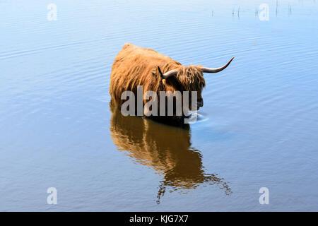 Con i capelli lunghi highland bovini il raffreddamento in zone umide in rspb van agriturismo riserva naturale sul Foto Stock