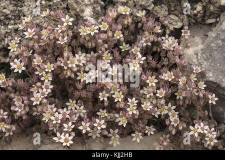 Thick-lasciava stonecrop, sedum dasyphyllum, in fiore sul vecchio muro, Provenza. Foto Stock