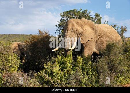 Gli elefanti nell'addo elefanti national park, sud africa. Foto Stock