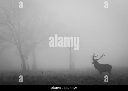 Feste di addio al celibato, maschio rosso cervo, nella nebbia, cheshire, country park, la fauna selvatica Foto Stock