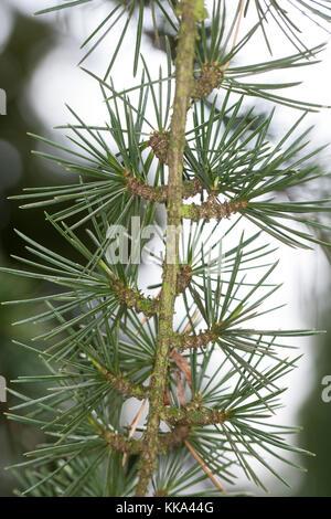 Libanon-zeder, libanonzeder, libanesische zeder, Cedrus libani e syn. cedrus libanotica, cedro del Libano, il cedro Foto Stock