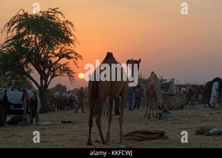 PUSHKAR, INDIA, 28 Ottobre 2017 : Tramonto sul mercato di cammelli. Fiera di Pushkar è una delle più grandi fiere del bestiame nel paese con migliaia di cammelli.