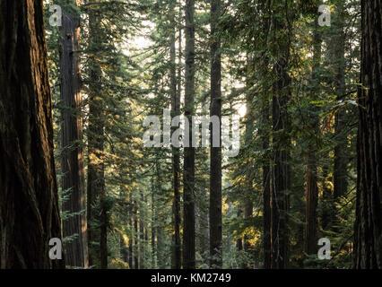 Redwood foreste nelle prime ore del mattino di nebbia, Parco Nazionale di Redwood in California, Stati Uniti d'America Foto Stock