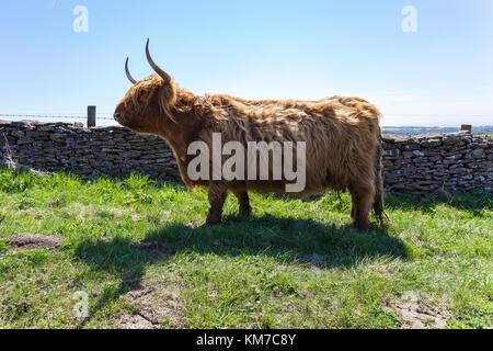 Highland Bovini, visto nel North York Moors vicino Levisham, North Yorkshire, Regno Unito Foto Stock