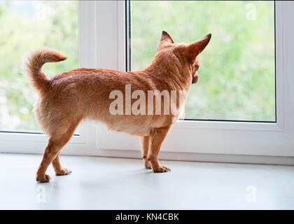 Red Dog chihuahua in piedi sul davanzale e appare in lontananza. Foto Stock