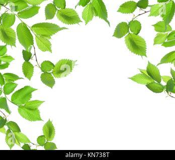Foglie verdi isolati su uno sfondo bianco. Foto Stock