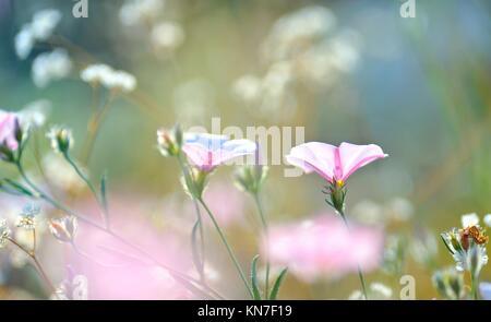 Tabacco fiori rosa illuminato da raggi di sole sul campo.
