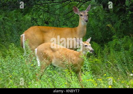 White-Tailed Deer (Odocoileus virginianus) doe e fawn Foto Stock