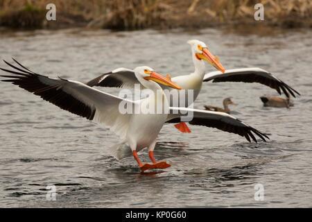 Americano bianco pellicano (Pelecanus erythrorhynchos), Rocky Ford Creek acqua sito di accesso, Washington. Foto Stock