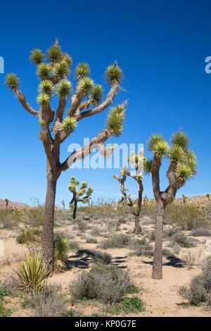 Joshua tree (Yucca brevifolia), Joshua Tree National Park, California. Foto Stock