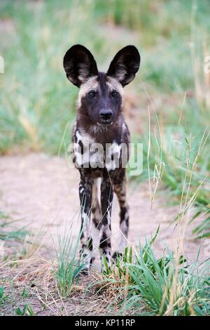 African wild dog ritratto (Lycaon pictus) Hwange National Park, Zimbabwe. Foto Stock
