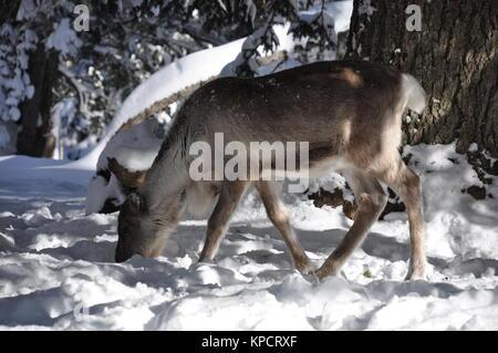 La renna in inverno Foto Stock