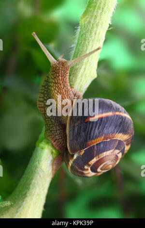 La lumaca comune strisciando sulla pianta in giardino Foto Stock