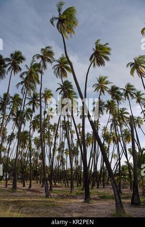 Kapuaiwa Coconut Grove è uno degli ultimi royal cocco boschetti in Hawai'i. Re Kamehameha IV aveva un migliaio di Foto Stock