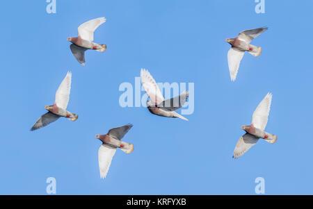 Gregge di piccioni selvatici (Columba livia domestica) battenti contro il cielo blu in inverno nel West Sussex,l'Inghilterra, Foto Stock