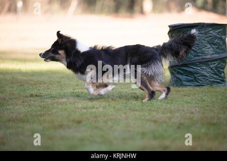 Cane, Border Collie, in esecuzione in Hooper formazione Foto Stock