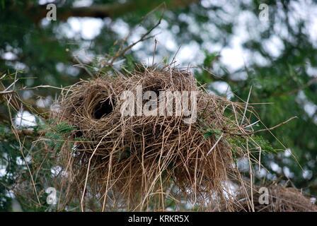 Cilindrica di Bird's Nest