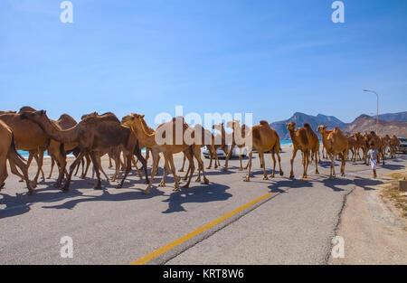 Al Mughsayl, Oman - 10 Gennaio : cammelli essendo pilotati a pascoli, accompagnati dal loro proprietario nel carrello. Foto Stock