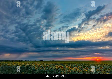 Il paesaggio emozionante di un campo di semi di girasole a nuvole temporalesche al tramonto Foto Stock