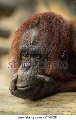 Orangutan Foto Stock