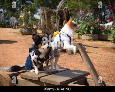 Due piccolo cane in piedi su auto in legno Foto Stock