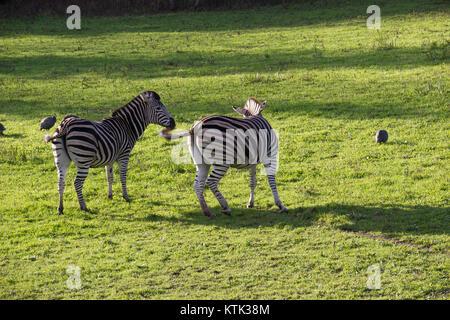 CHAPMAN'S o Zebra di Grevy Zebra