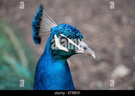 Peacock in uno zoo australiano Foto Stock